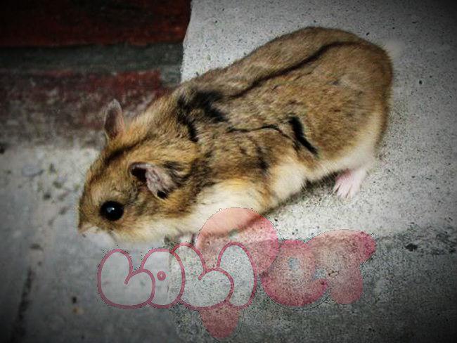 chuột hamster sóc campell_webcamera360_20140702175225