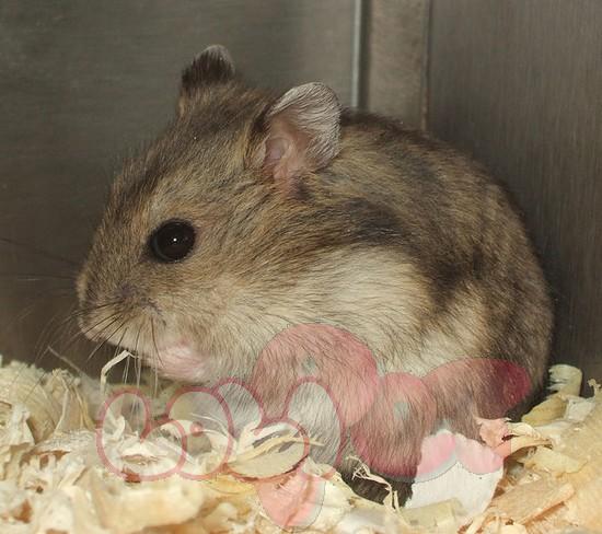 chuột hamster sóc ww