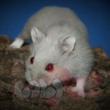 chuột hamster socola (3)
