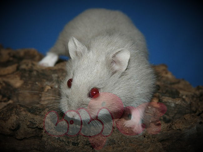 chuột-hamster-socola-3