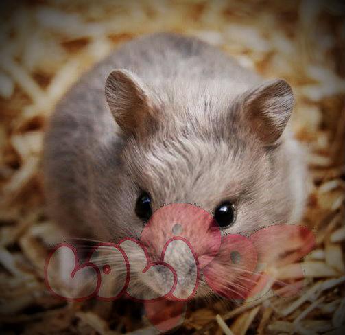 chuột-hamster-socola