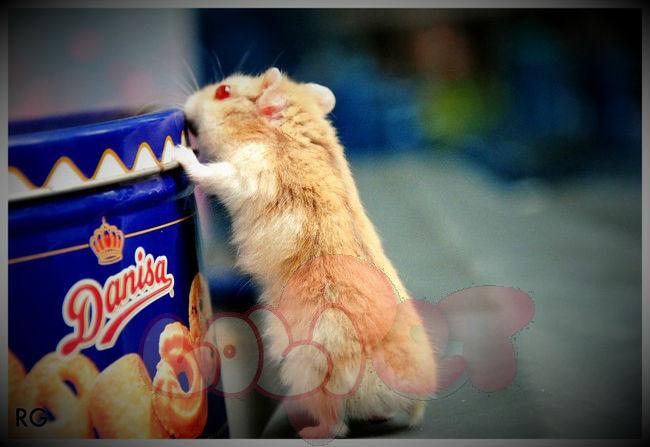 chuột-hamster-trà-sữa-campell