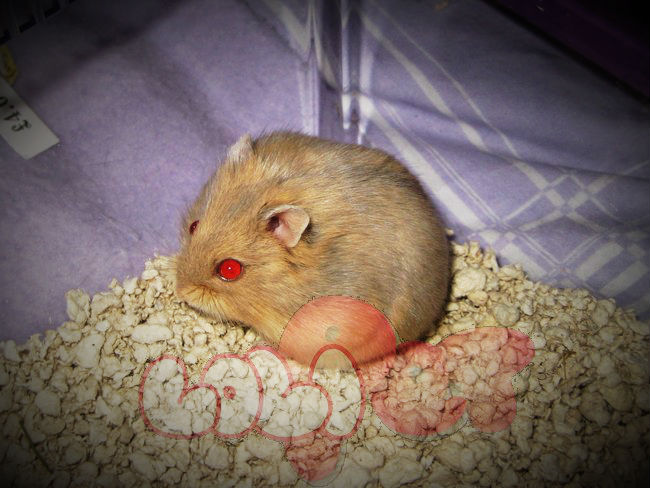chuột hamster trà sữa winter white
