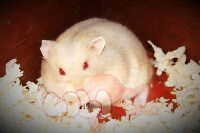 chuột hamster trà sữa ww (3)_webcamera360_20140702174811