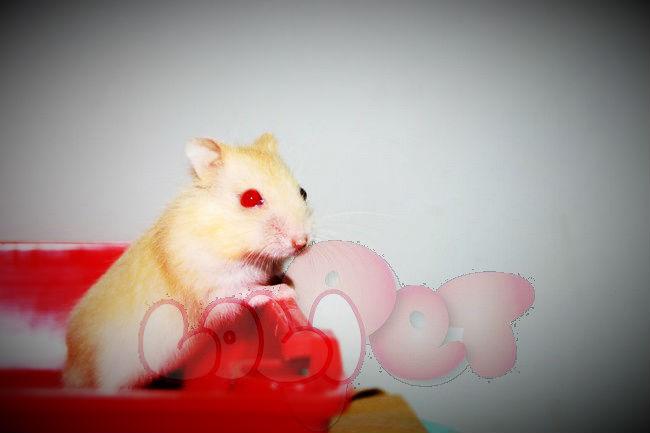 chuột-hamster-vàng-chanh-2_webcamera360_20140702174408