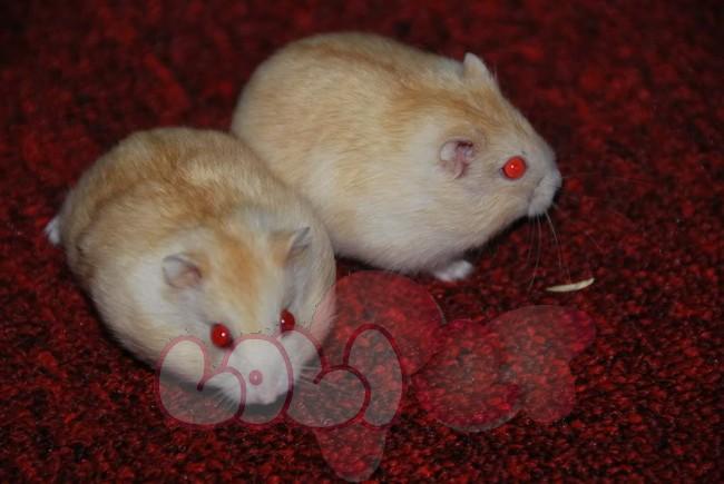 chuột-hamster-vàng-chanh-41