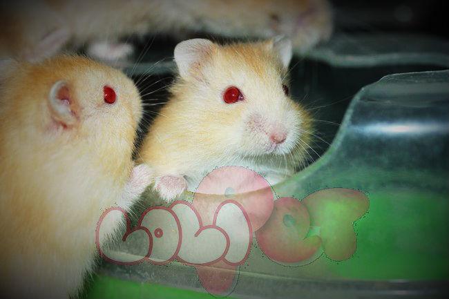 chuột-hamster-vàng-chanh-4