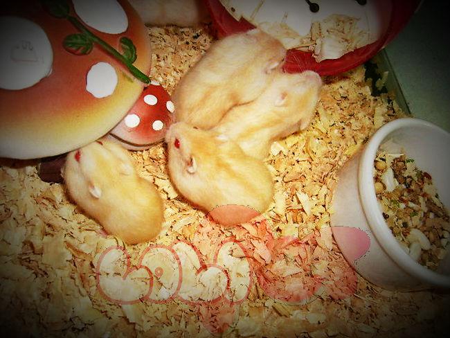 chuột-hamster-vàng-chanh