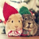 chuot lang guinea pig (3)