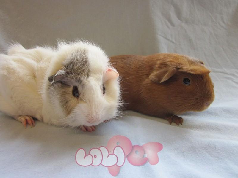 chuot lang guinea pig (6)