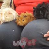 chuot lang guinea pig (7)