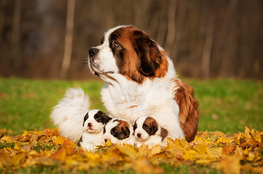 cute-picture-saint-bernard-dog-with-puppies-in-autumn