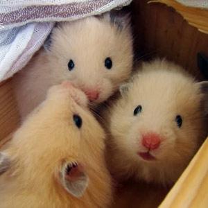 lolipet là địa chỉ bán chuột hamster đẹp , đa dạng nhất Hà Nội số 1 ngõ 244 kim mã , HN