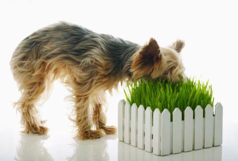 dogeatinggrass