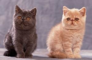 chatons exotic shorthair assis en studio l'un à côté de l'autre