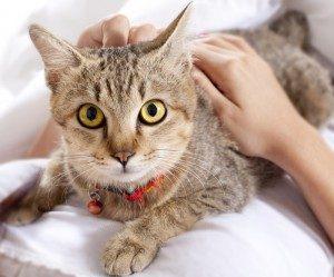 feline-hyperesthesia-300x249