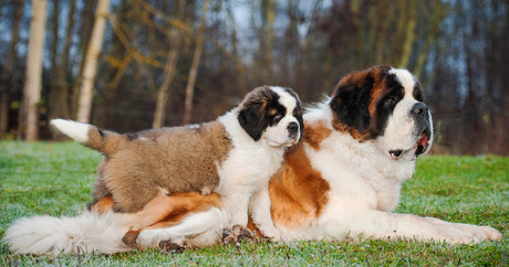 file_20557_column_how-long-does-a-st-bernard-live