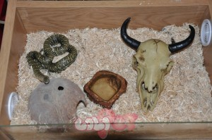 for-sale-florida-king-snake-with-vivarium-51ce06a2dcf3e