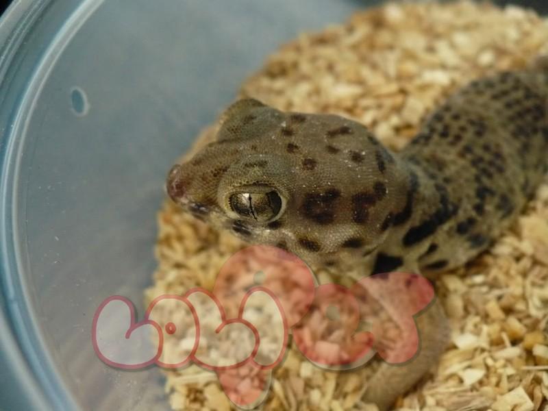 gecko1a