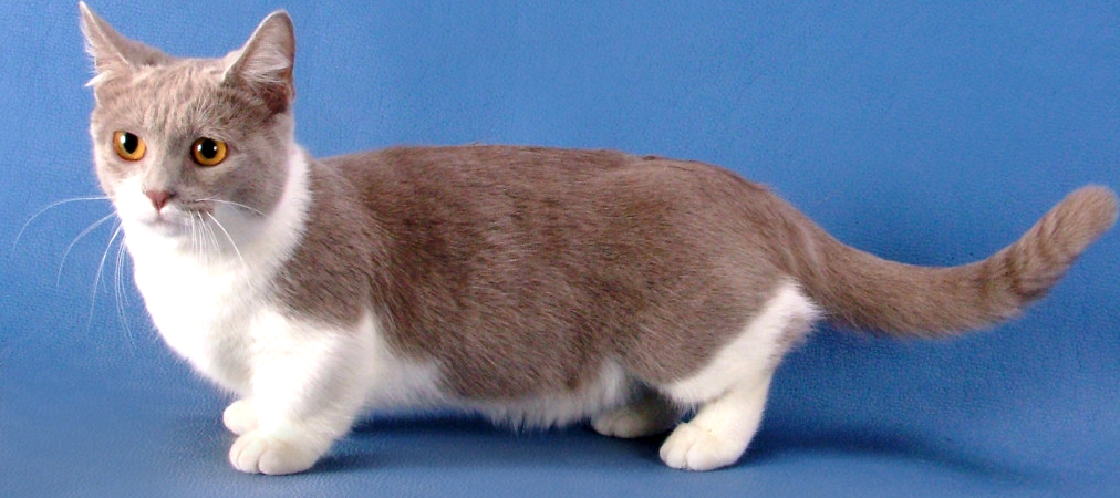 gray-and-white-munchkin-cat