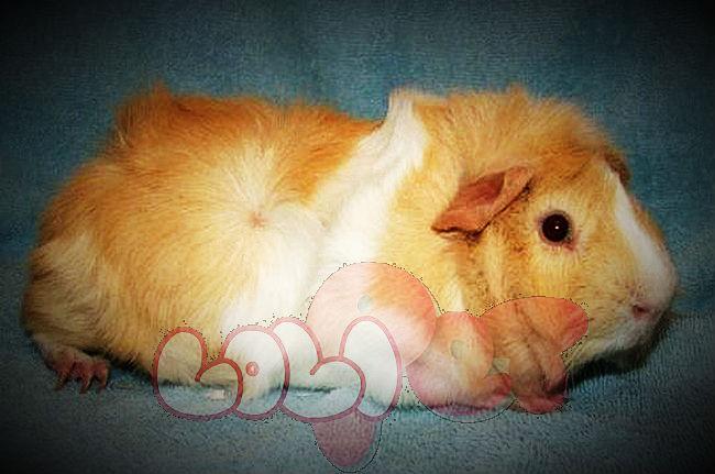 guinea-pig-aby-2_webcamera360_20140702174342