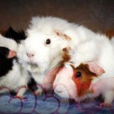 guinea-pig-aby