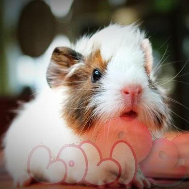guinea-pig-aby_webcamera360_20140702174310