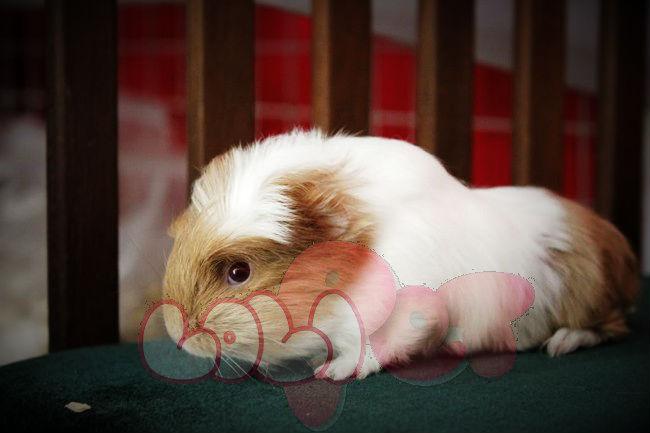 guinea-pig-coronet