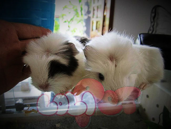 guinea-pig-coronet_webcamera360_20140702174214