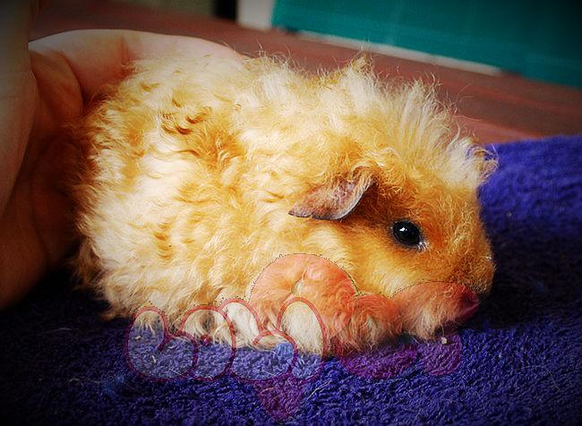 guinea-pig-texel-2_webcamera360_20140702174000