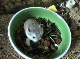 hamster ăn