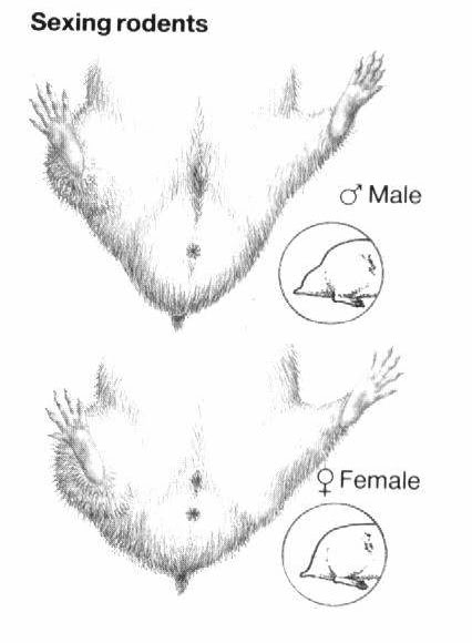 hamster bear đực cái