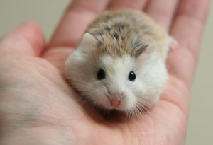 hamster robo giá rẻ , đẹp nhất hà nội tại lolipet