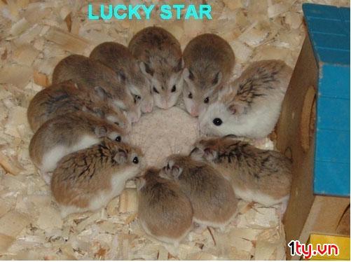 giá hamster robo đẹp tại lolipet hà nội