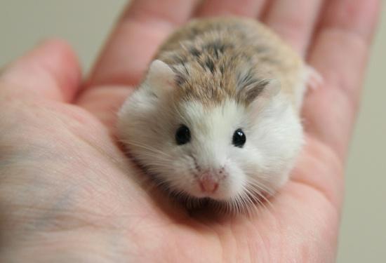 cửa hàng lolipet ban hamster o ha noi giá rẻ nhất hn