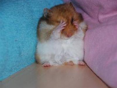 hamster sợ