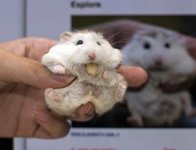 hamster , chuột hamster đẹp