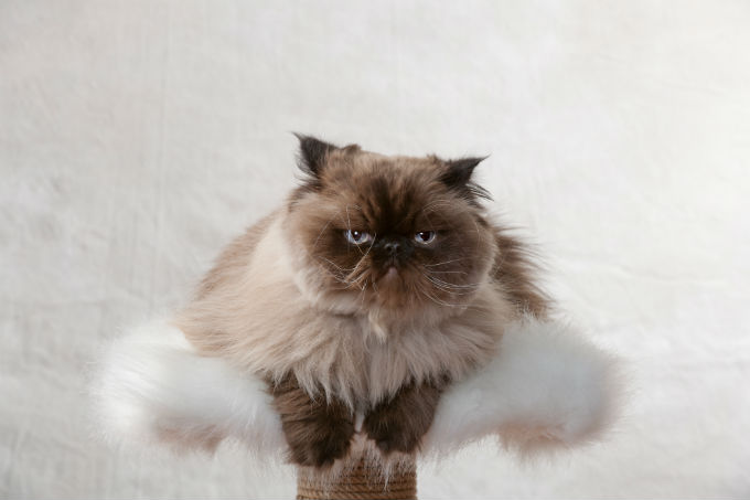 himalayan-cats-and-kittens-6