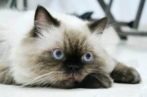 himalayan_cat1