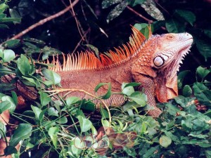 iguana-wallpaper-2