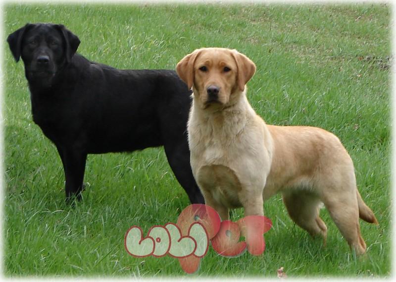 Labrador là chó tha mồi mạnh mẽ. Giống chó cảnh này biết tới với một cơ thể mạnh mẽ và đôi chân nhanh nhẹn