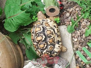 leopard-tortoise-for-sale-521603dd80ae5