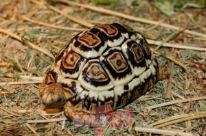 leopard_tortoise_2_