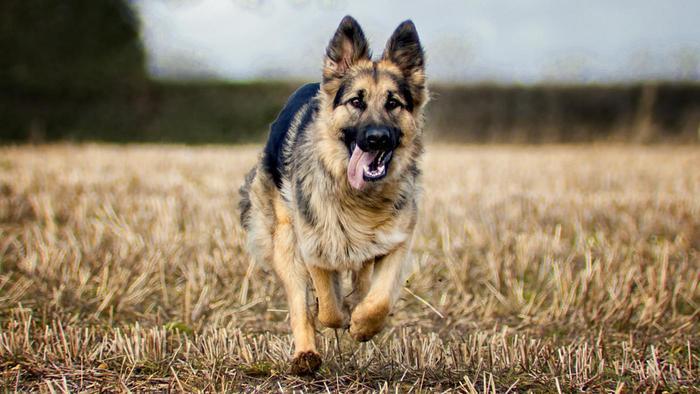many-types-german-shepherds-exist-world_b010fe56394dcf56