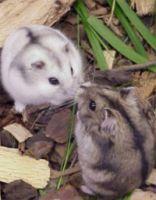 Lolipet tổng đại lý nơi mua hamster o ha noi giá rẻ nhất