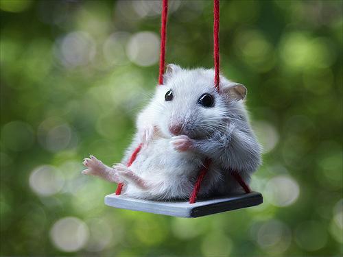địa chỉ mua hamster rẻ đẹp tại hn - lolipet.net