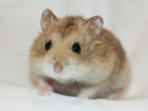 địa chỉ mua hamster tại ha noi giá rẻ nhất lolipet.net
