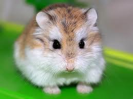 lolipet địa chỉ mua hamster tai hn giá rẻ nhất