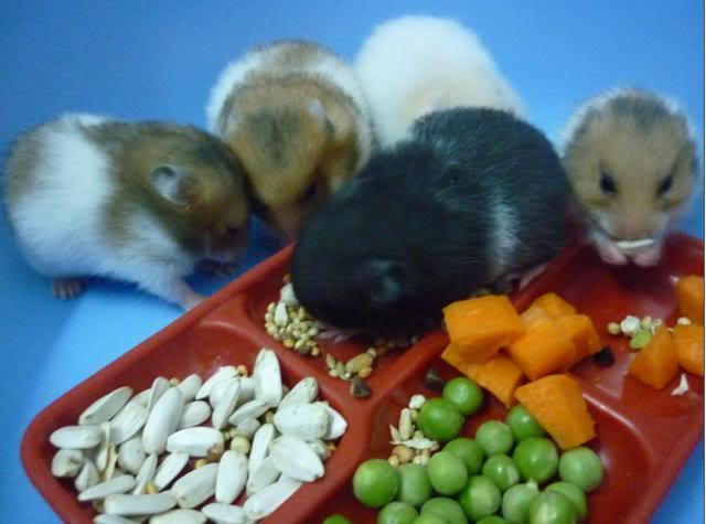 lolipet chuyên bán hamster tai hn giá rẻ nhất