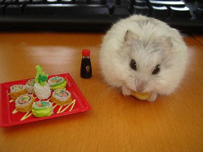 Cửa hàng lolipet bán hamster rẻ , đẹp nhất hà Nội hn
